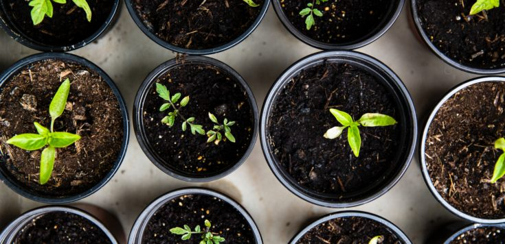 Rows of small black plant pots viewed from above filled with soil and sprouting plants from seed.