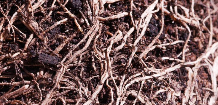 Tangled dry roots in soil.